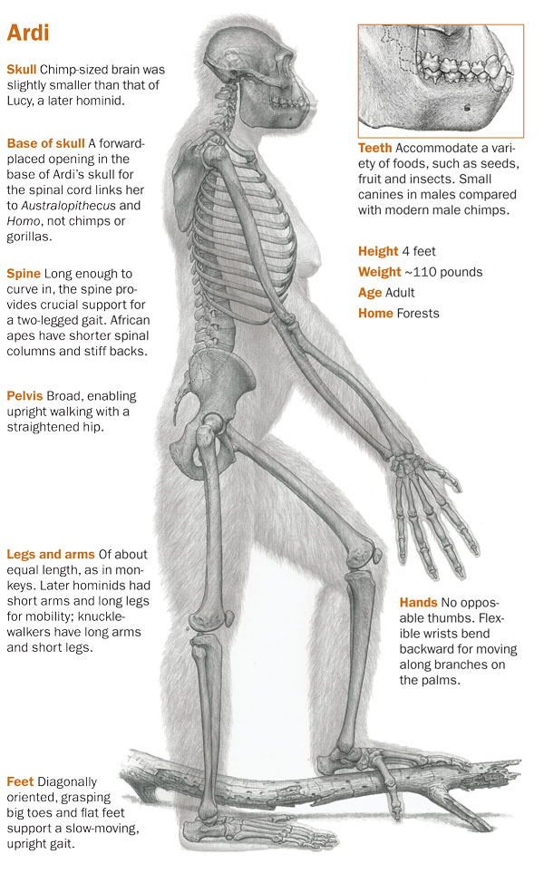 Ardi - human origins last common ancestor evolution